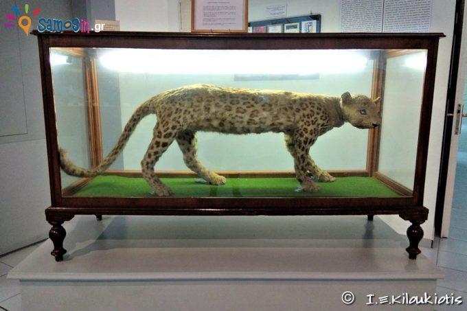 Kaplani, a kind of feline who came to Samos 130 years ago