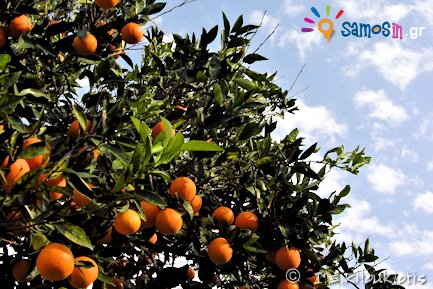 citrus at samos island