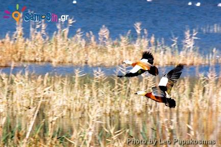 Wild ducks at Alyki in Samos island