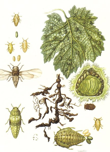 Grape phylloxera