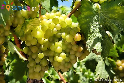 white Muscat of Samos