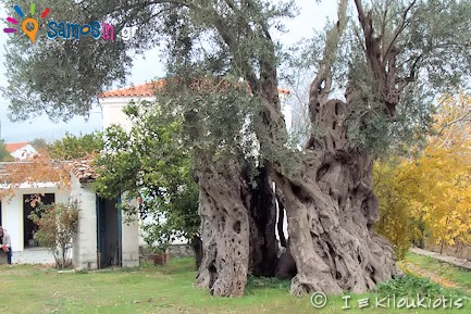 Olive tree Eve the oldest throughout Greece