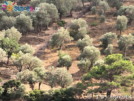 olive cultivation at Samos island