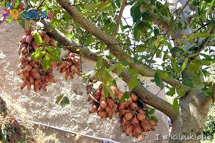 κρεμμύδια στην Σάμο