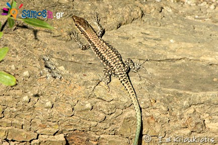 Anatololacerta anatolica, samos lizard