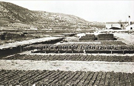 tobacco drying at the plain of Chora village