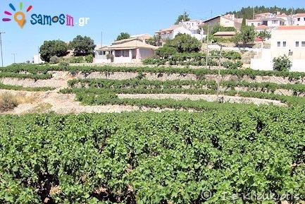 Viticulture at Platanos Village